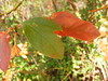 Sassafras Leaf - Mitten (Fleur-de-louis) Tags: autumn red usa color green fall colors leaves leaf shaped kentucky ky changing shape mitten chaplin bloomfield sasafrass bilobed