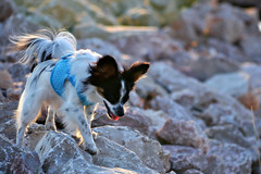Walking (Pappup2010) Tags: dog pet white black cute animal puppy small tan ears canine papillon tricolor pup breed pap toybreed  butterflydog
