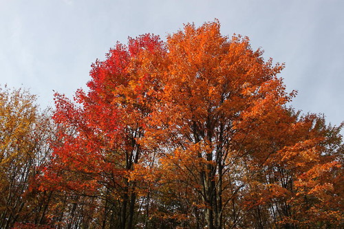 Red Maple, Sugar Maple