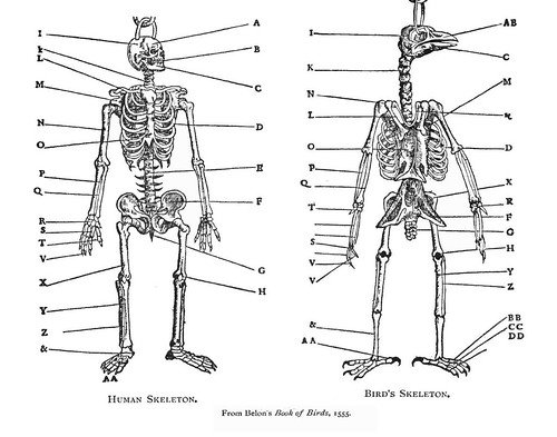 human and bird skeleton drawings side-by-side