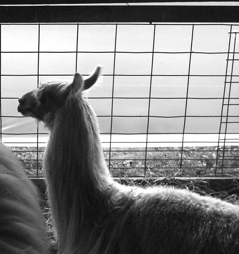 Llama at Rhinebeck