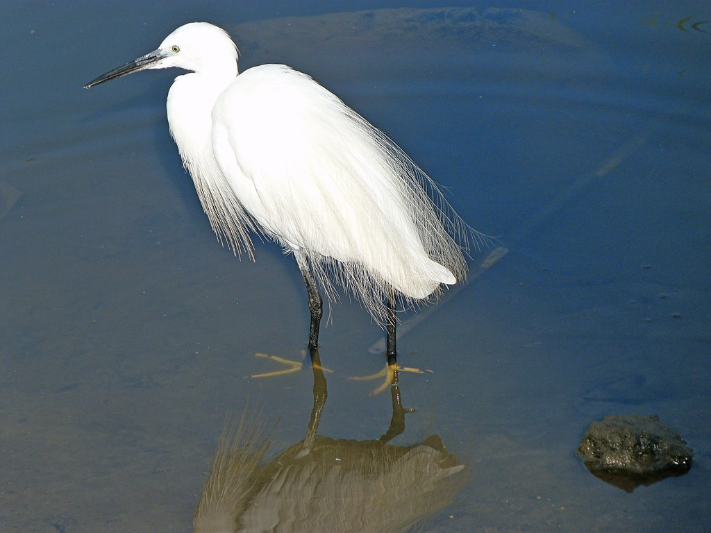 15-10-2011-egret-showing-off