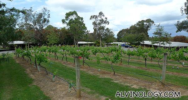 Grape vines in the resort