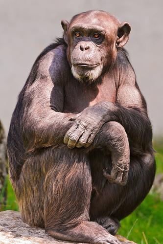 無料写真素材|動物|猿・サル|チンパンジー