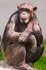 [フリー画像素材] 動物 1, 猿・サル, チンパンジー ID:201110221200