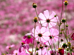 cosmos (hamapenguin) Tags: autumn flower fall nature  cosmos