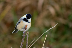 Chickadee DSC_5171 by Mully410 * Images