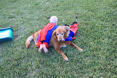 IMG_9105 (drjeeeol) Tags: dog pet halloween goldenretriever costume backyard katie tiger superman will superhero cape supergirl triplets toddlers 2011 36monthsold