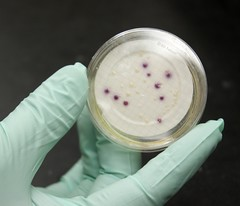BST researchers genetically fingerprinting E. coli from Lampasas and Leon watersheds