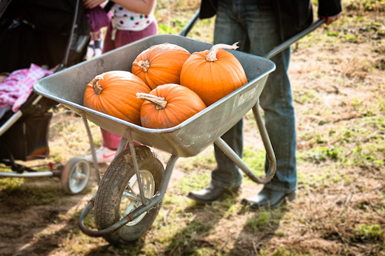 Pumpkins in a wheel barrow