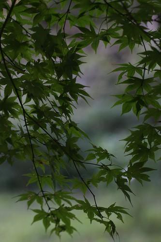 緑のカエデ / Green maple