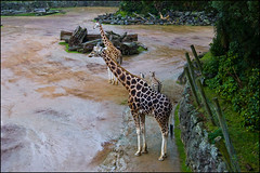 Auckland Zoo - Giraffes and zebras