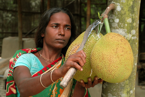 Harvesting jackfruit from the garden, Bangladesh. Photo by WorldFish, 2006
