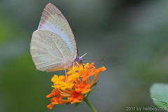 Schmetterling 22 (hellboy2503) Tags: orange flower nature canon butterfly germany natur butterflies blumen images 100mm gelb 7d getty blau falter makro bltter gettyimages jrg schmetterling nektar wonderfulworldofmacro gettyimagescallforartists gettyimagesartistpicks hellboy2503