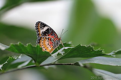 Schmetterling 10 (hellboy2503) Tags: orange flower nature canon butterfly germany natur butterflies blumen images 100mm gelb 7d getty blau falter makro bltter gettyimages jrg schmetterling nektar gettyimagescallforartists gettyimagesartistpicks hellboy2503