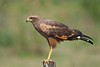 Savanna Hawk (Buteogallus meridionalis) (PeterQQ2009) Tags: brazil birds savannahawk buteogallusmeridionalis