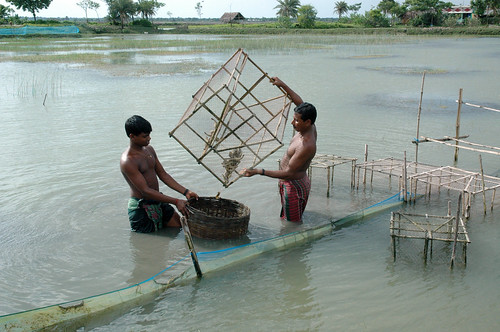 Shrimp harvest, Bangladesh. Photo by WorldFish, 2008