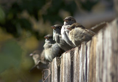 observant sparrows (davedehetre) Tags: sunset sun fence row f45 300mm formation sparrow nikkor