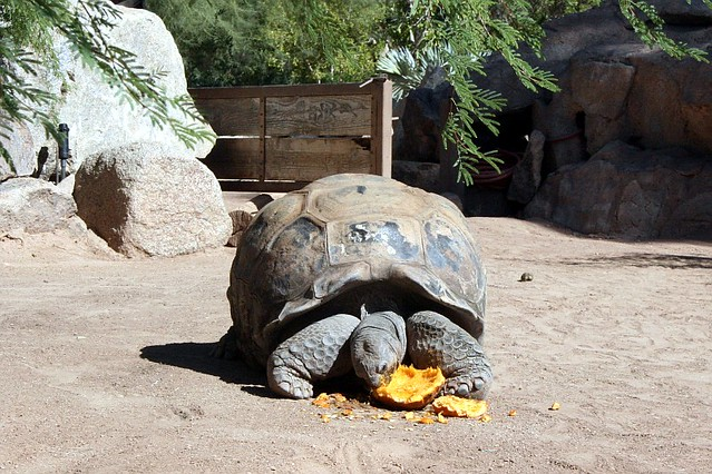 Aldabra Tortoise at the Phoenix Zoo