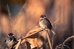 Sparrows (Standard Deluxe) Tags: autumn bird farm housesparrow cornstalk 400mm 200l canonef200mmf28liiusm canonextenderef2xiii