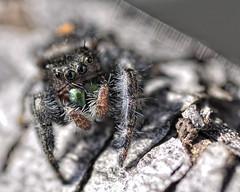 _DSC8244 (sara97) Tags: nature closeup spider arachnid missouri saintlouis carnivorous jumpingspider 8legs salticidae hemolymph photobysaraannefinke copyright2011saraannefinke