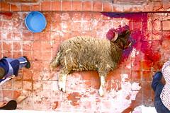So long Messaoud. (Thibaut Cavaillès) Tags: morocco maroc mouton tangier sacrifice tanger 2011 aïdelkebir aïdeladha aidelkebir aïdelkébir sheeptangermaroctangiermoroccoaïdeladhaaïdelkébir2011aïdelkebiraidelkebirsacrificemouton