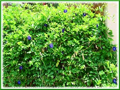 Clitoria ternatea (Butterfly Pea, Blue Pea Vine, Asian Pigeonwings), draped over a fence