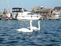 "Harbour Swans • <a style=""font-size:0.8em;"" href=""http://www.flickr.com/photos/59278968@N07/6325411781/"" target=""_blank"">View on Flickr</a>"