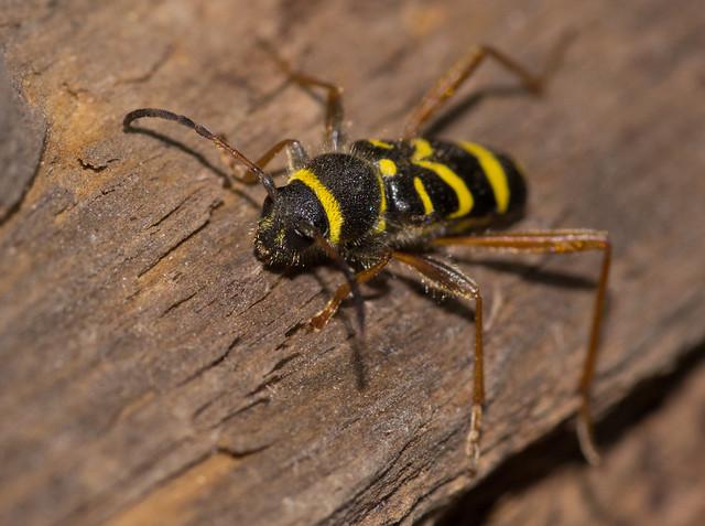 wasp beetle 2