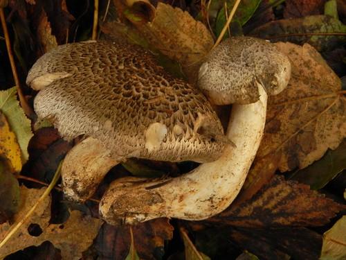 Tricholoma pardinum=Tricholome tigré (Toxique)