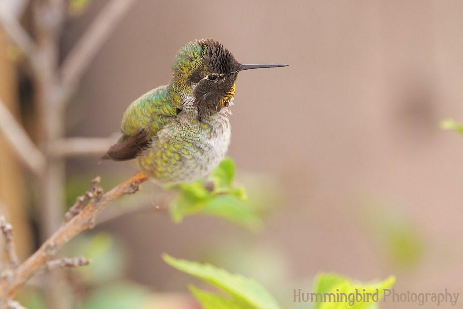 Anna's Hummingbird111311-6
