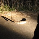 "Puff Adder <a style=""margin-left:10px; font-size:0.8em;"" href=""http://www.flickr.com/photos/14315427@N00/6346434325/"" target=""_blank"">@flickr</a>"