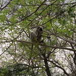 "Vervet Monkey in Tree <a style=""margin-left:10px; font-size:0.8em;"" href=""http://www.flickr.com/photos/14315427@N00/6347197574/"" target=""_blank"">@flickr</a>"