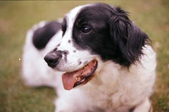 (Sofi Anne) Tags: dog film analog 35mm collie snoopy spaniel