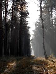 Schorfheide (onnola) Tags: autumn shadow sun mist forest germany deutschland nebel herbst trunk sonne wald schatten brandenburg kiefern gegenlicht dunst barnim bole schorfheide stmme kiefernwald backlightning