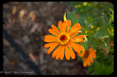 Orange Effects (Gary P Kurns Photography) Tags: flowers macro closeup nikon events creative flowersplants