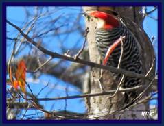 Anglų lietuvių žodynas. Žodis redheaded woodpecker reiškia redheaded genys lietuviškai.