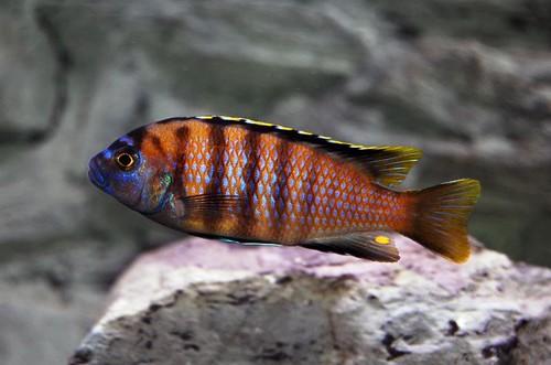 Metriaclima sp. 'patricki' Jalo Reef