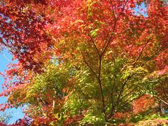 蒼と紅のグラデーションが美しい紅葉の写真