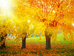CIMG9357 yellow leaves (Getty Images) (pinktigger) Tags: trees italy nature leaves yellow countryside italia country friuli friul moruzzo