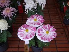 IMGP2075 (naohisa1971) Tags: flower niigata bandai