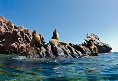 slrocks8096ws (gerb) Tags: blue topv111 island nice topv333 wildanimal sealion animalplanet seaofcortez tvp aquatica losislotes d7000 sigma1017fe