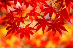 /Autumn colors (nobuflickr) Tags: japan autumncolors   naturesfinest kyoto