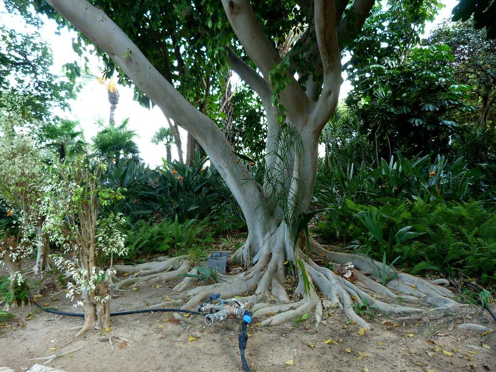 01-10-2011-trees-i-am-a-ficus-benyamina-look-at-my-roots