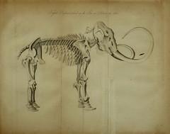 Anglų lietuvių žodynas. Žodis genus mammut reiškia genties mammut lietuviškai.