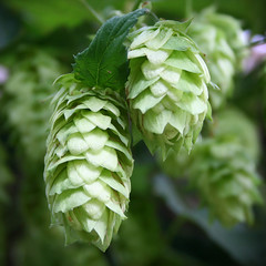 Hops & Dreams (Randomographer (ghost)) Tags: green beer hops humulus lupulus