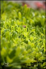 Hojitas verdes (Iván R. Cabrera) Tags: plant verde green planta mexico dof bokeh dgo durango mex selectivefocus enfoqueselectivo flickraward