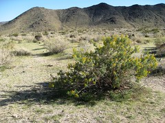 Peritoma arborea (Nuttall) (Bladderpod) Habitat (brewbooks) Tags: california yellow desert hiking shrub plantae habitat joshuatreenationalpa