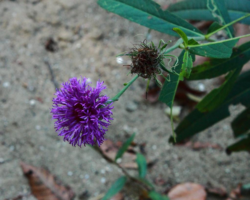 Arkansas Ironweed