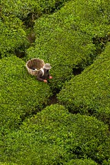 Tea plantations (Kuba Abramowicz) Tags: life travel people mountains green nature leaves work landscape leaf highlands nikon scenery asia basket tea hill working scenic hills rows cameron malaysia plantation southeast peninsula fareast malay between boh tanah rata plantations southeastern greenness d80 lpbetween lp2011winners